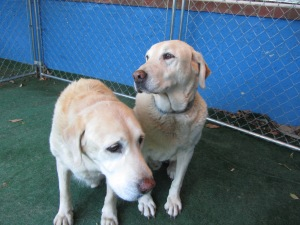 Two older Labs